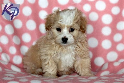 shih tzu yorkie mix puppies for sale 25 best ideas about shih tzu maltese mix on yorkie dogs for sale bichon