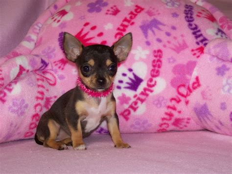 free chihuahua puppies purebred chihuahua puppies for sale find a purebred breeder near you