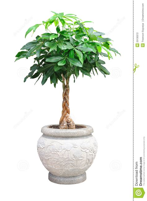 Small Decorative Trees by Small Decorative Tree Isolated Stock Photography