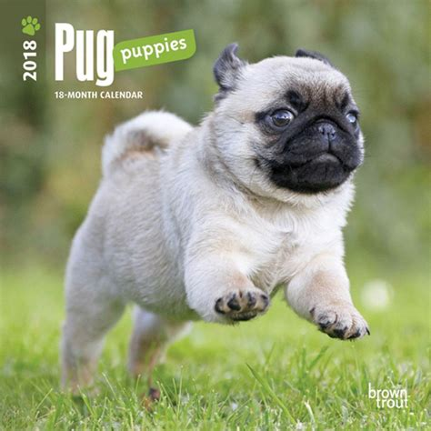 mini pug puppies pug puppiesmini wall calendar 9781465086952 calendars