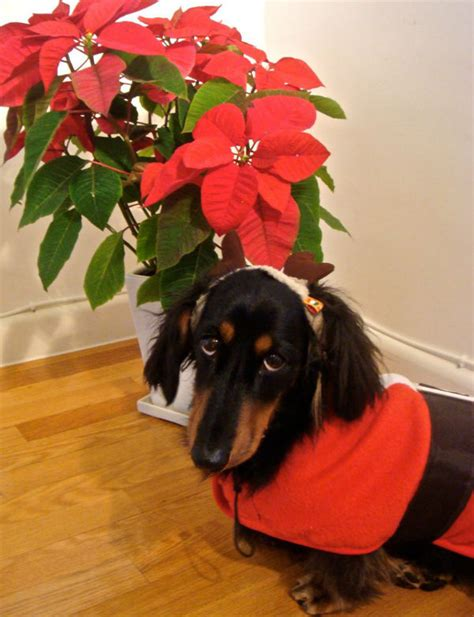 poinsettia poisonous to dogs from poinsettias to lights here s how to keep your safe this