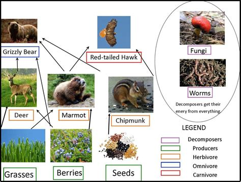 grizzly food chain diagram grizzly bears of canada grizzly