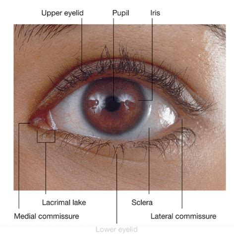 outer eye diagram diagram of the outer eye anatomy human