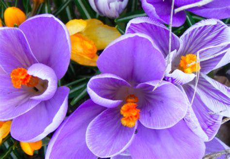 fiori di bach in gravidanza fiori di bach in gravidanza propriet 224 e controindicazioni