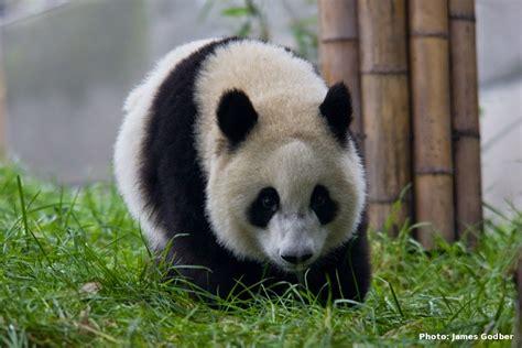 hal hal tentang panda