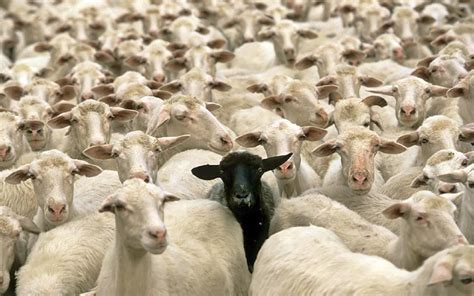 how to a to herd sheep how to become a billionaire be the black sheep chris herd medium