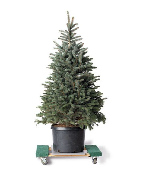6 tips for live christmas trees real simple