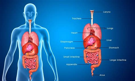 appendix diagram diagram where are your appendix located diagram