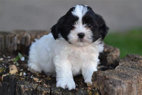 puppies for sale nj 8 shichon puppies for sale in nj in biological science picture directory