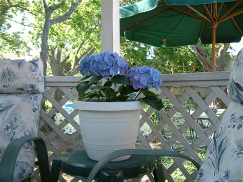 What Did Most Rich Southern Planters Do With Their Wealth by How To Grow Hydrangeas