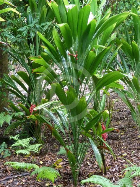 broad leaf tropical house plants cordyline petiolaris broad leaf palm information