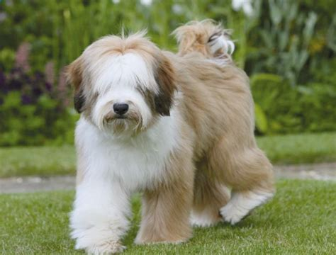 tibetan terrier puppies tibetan terrier breeders within the united states available puppiessiggy s paradise