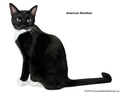 Shorthair Cat Breeds | Britannica.com