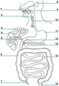 blank digestive system diagram free printable turtle clip green sea turtle clip gif