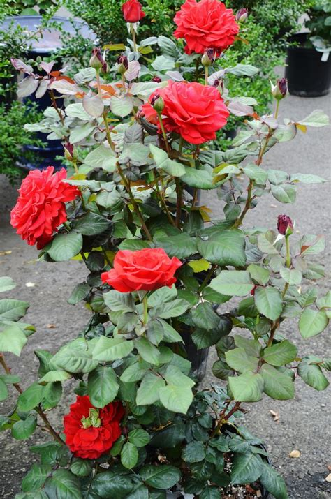 rose care 101 gardens a well and survival