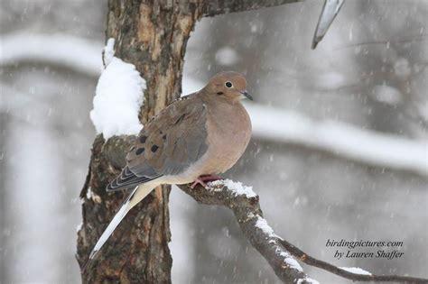 snowy backyard birds birding pictures