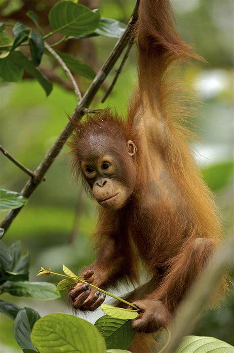 Totebag Puisi orangutan pongo pygmaeus baby swinging photograph by