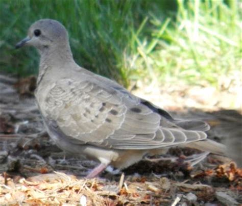 wild birds unlimited photo share mourning dove family