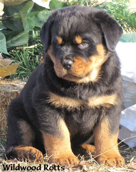 baby rottweiler baby rottweiler puppies pictures to pin on tattooskid