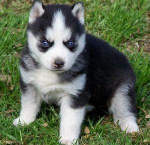 golden retriever en español venta de perros veracruz venta de cachorros veracruz
