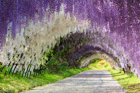 japan wisteria tunnel 12 mesmerizing tree tunnels you must stroll through