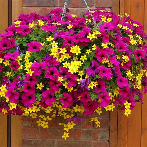 Hanging Flower Garden Petunia And Bidens Chagne And Gold Cocktail Mix Patio Plants Meuwen Plants