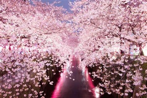fior di ciliegio il fiore di ciliegio passione biofabene it