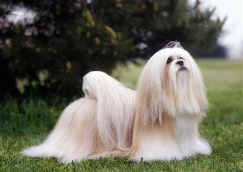 low maintenance house dogs 5 low maintenance dog breeds that are easy to groom