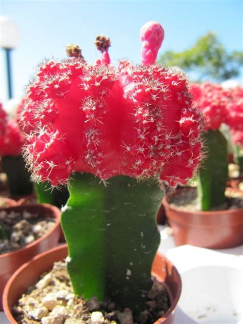 how to care for moon cactus tips to have in mind pinterest cactus