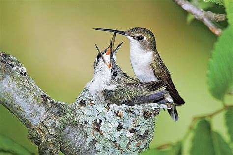 hummingbirds are back also tips on nesting local news