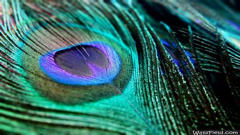 wallpapers of peacock feathers hd 2016 wallpaper cave