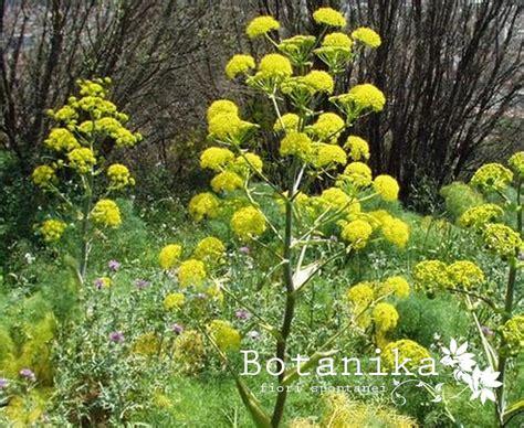 fiori della macchia mediterranea fiori e arbusti della macchia mediterranea ferula