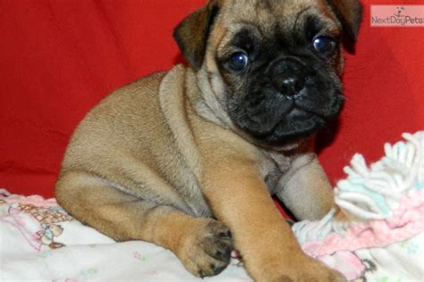 bulldog and pug mix for sale bulldog pug cross breeds picture