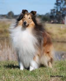 Saved by dogs lassie was average for a collie