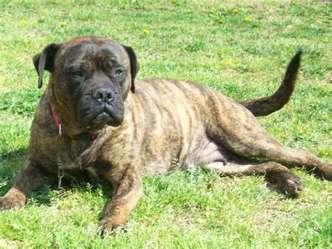 pictures of bullmastiff puppies mastiff boxer mix puppies breeds picture
