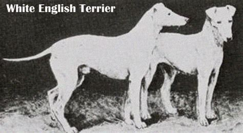 english white terrier breed guide learn