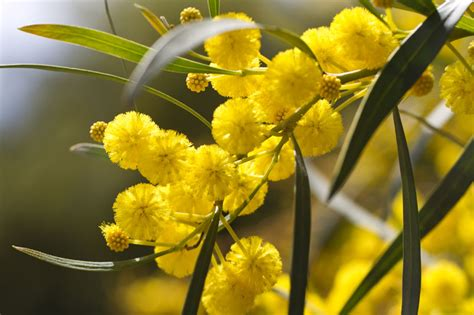 Wildflower Arrangements by Star Of The Season Flowering Wattle
