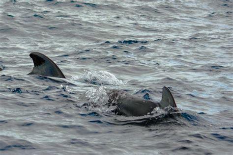 island pilot catamaran catamaran sailing around bequia visited by pilot whales