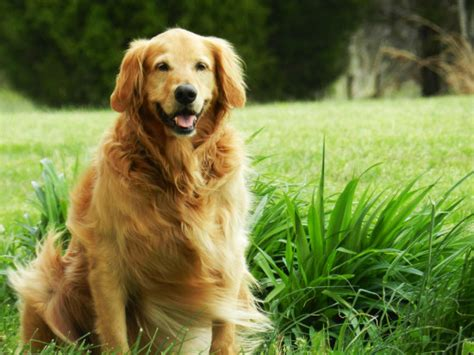 golden retriever lifetime study golden retriever lifetime study may hold answers to canine cancer petslady