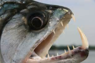 Piranhas have a reputation as the most ferocious fish in the world