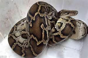 homeowner finds a seven foot python snake bursting