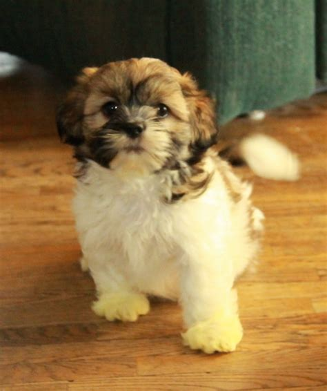 shih tzu canada hi shih tzu puppy puppies for sale dogs for sale in ontario canada curious puppies