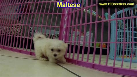dogs for sale louisville ky maltese puppies dogs for sale in louisville kentucky ky 19breeders bowling