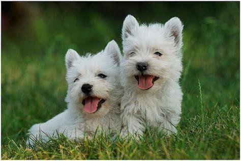 westie puppies for adoption adopt a west highland white terrier breeds picture