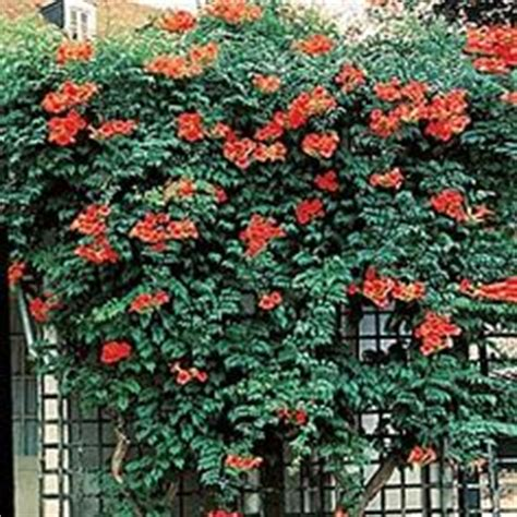 fast growing climbing plants for fences 1000 images about climbing vine perennials zone 5 on