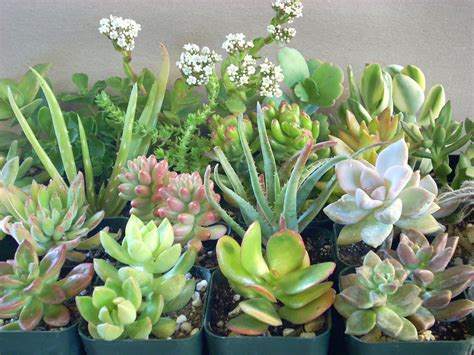succulents plants succulent plants 8 chunky collection 3 inch pots by