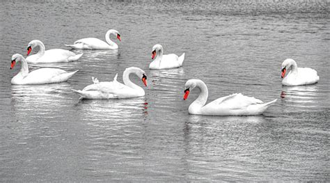 swan swimming seven swans a swimming revkev43