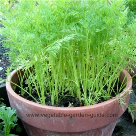 carrot container garden growing carrots in plant containers makes for easy cultivation