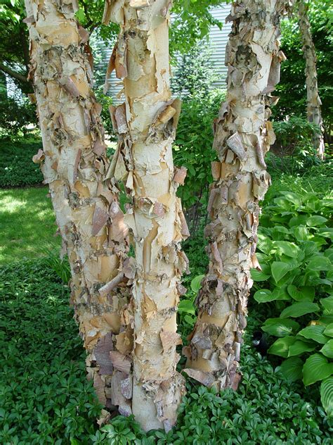 Why Do Trees Shed Bark by Why Does This Tree Look Like Its Peeling Marijuanaenthusiasts