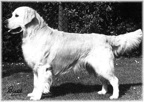 golden retriever pedigree database sansue golden ruler